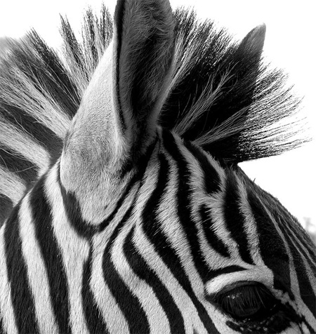 black-white-zebra-img